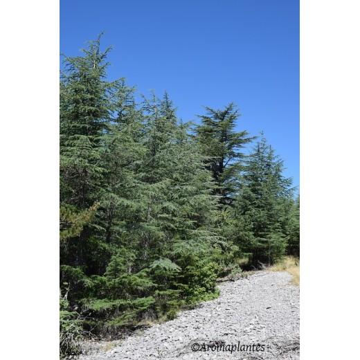 Huile essentielle de bois de Cèdre biologique