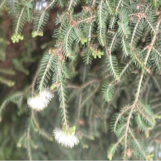 Huile essentielle de Tea tree biologique
